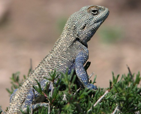 Brilliant ground agama is a species of agamid lizard of the Agamidae