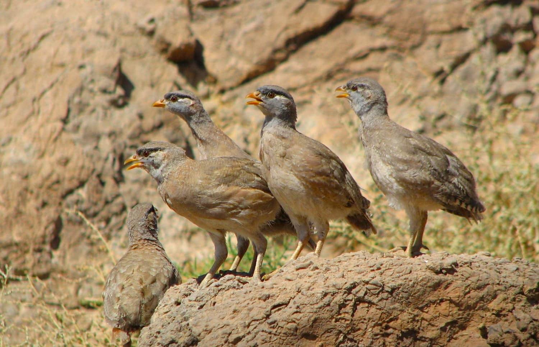 See seepartridgeisagamebirdinthepheasantfamilyPhasianidaeoftheorderGalliformes,gallinaceousbirds