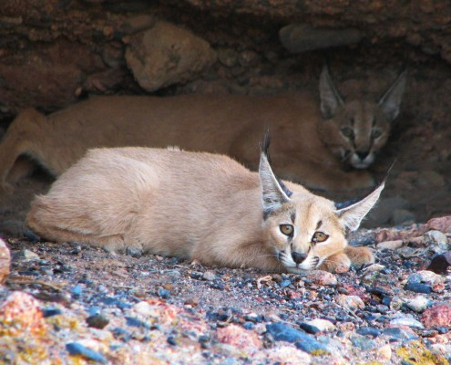 The Caracal is one of the small felid species and secretive animal in Iran