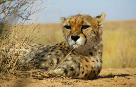 Asian or Iranian Cheetah