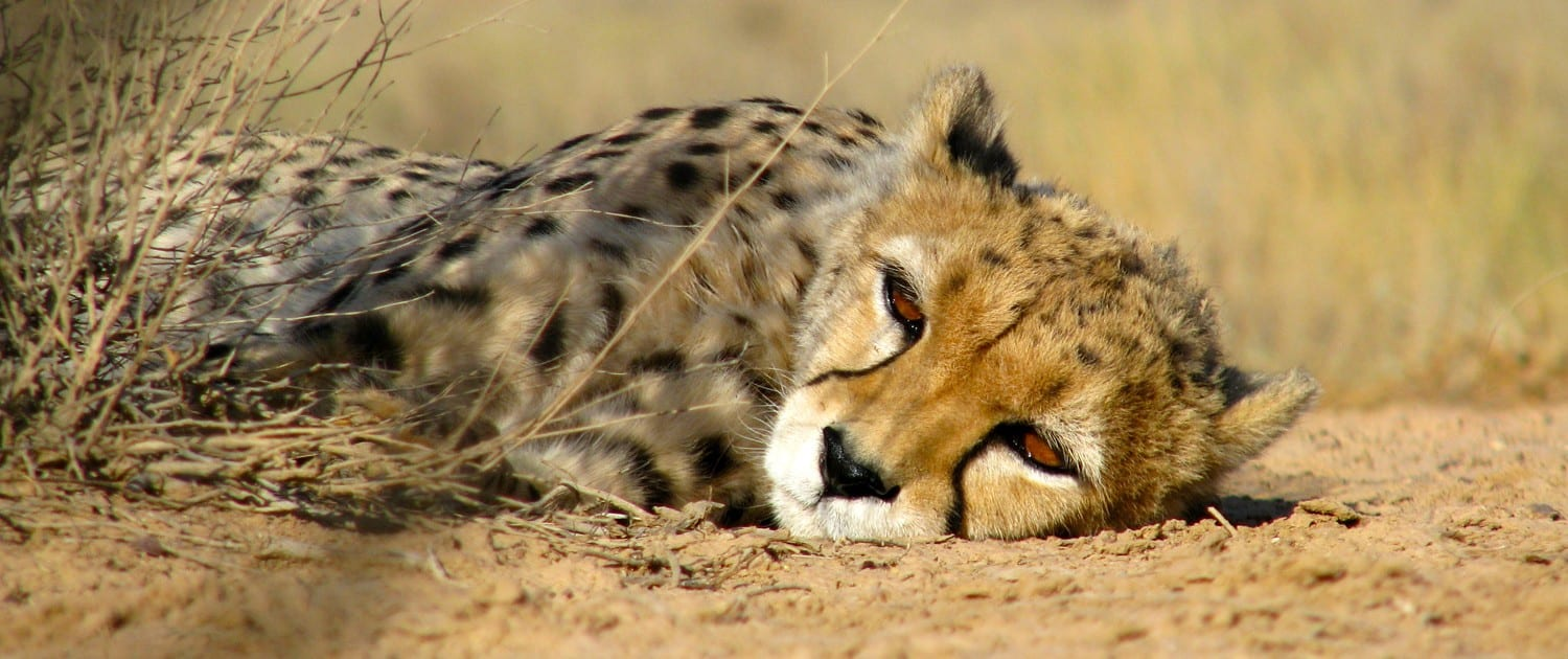 the asiatic cheetah With the death of the last remaining population of the asiatic cheetah in india, the species was declared extinct in india it is the only animal in recorded history to become extinct from india due to unnatural causes.