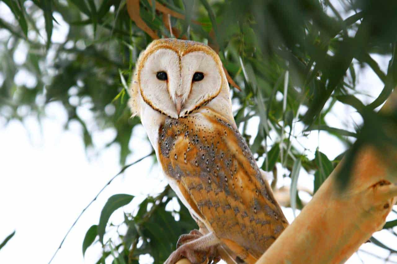 Barn owl – Miankaleh Peninsula