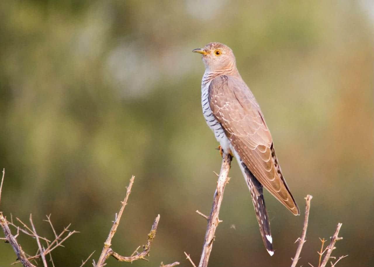 Cuckoo Miankaleh Peninsula