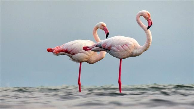 Miankaleh Peninsula ‒ A Heaven For Bird Watchers Iran