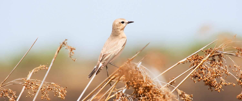 Miankaleh Peninsula Bird Watching