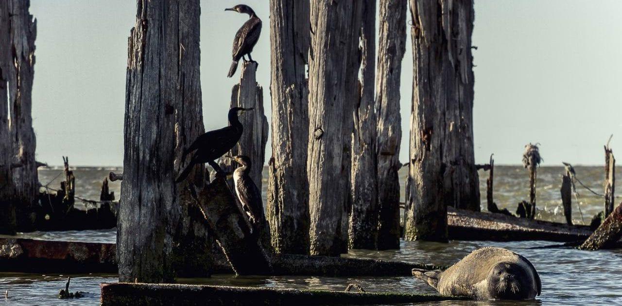 Cormorant – Miankaleh Peninsula