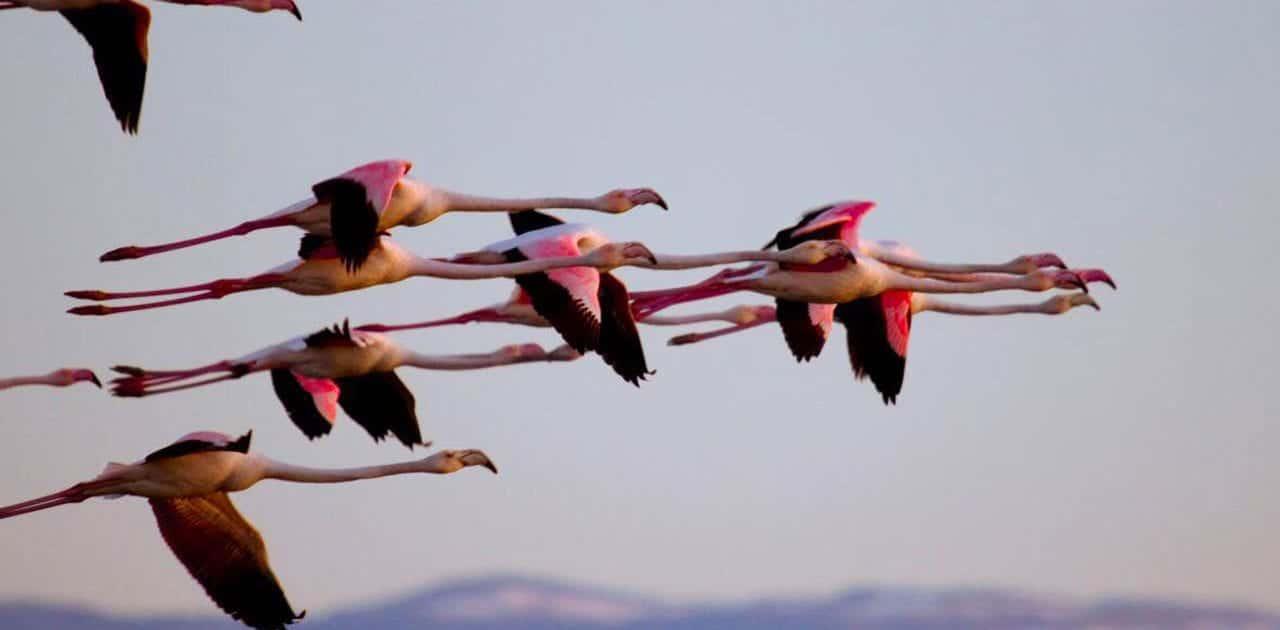 Flamingo – Miankaleh Peninsula