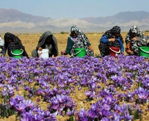 Iranian Saffron Tour