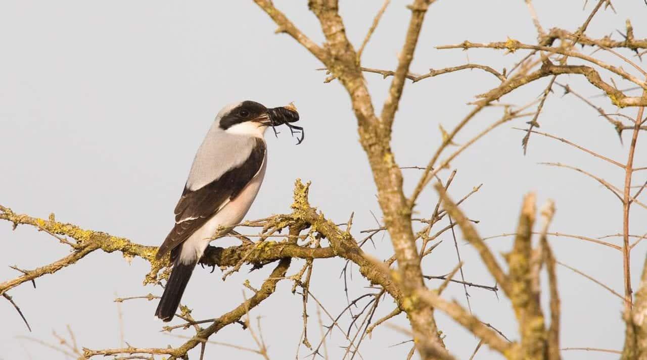 Lesser grey shrike – Miankaleh Peninsula