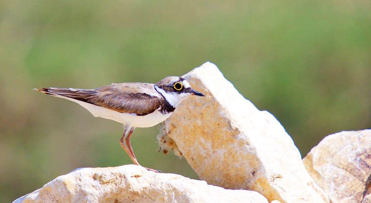 Little ringed plover – Miankaleh Peninsula