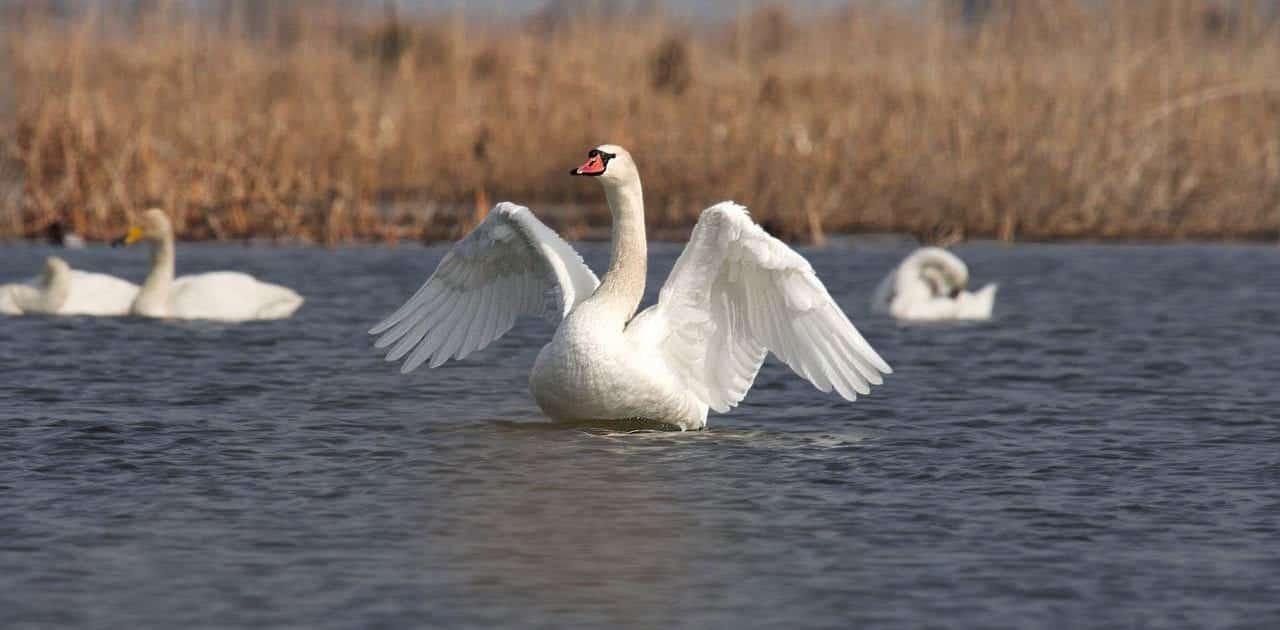 Mute swan – Miankaleh Peninsula