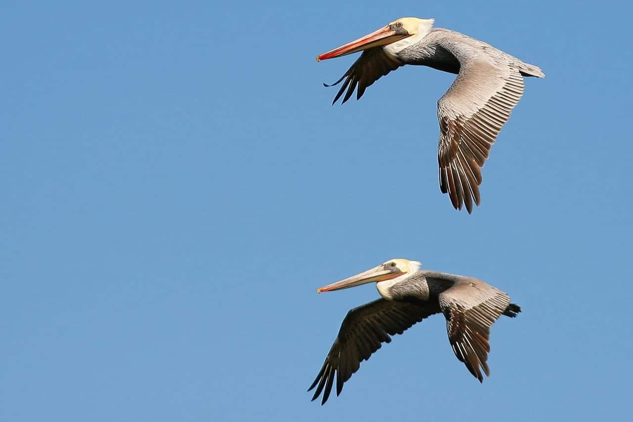 Pelican – Miankaleh Peninsula