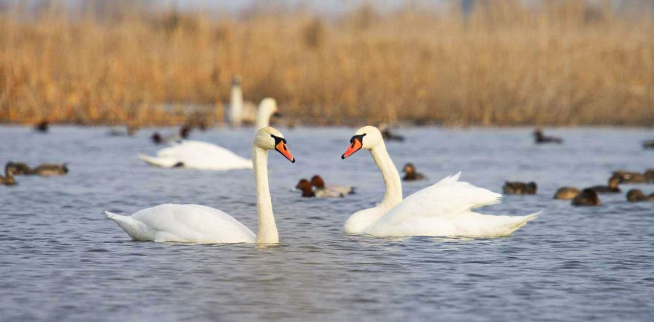 Swan – Miankaleh Peninsula