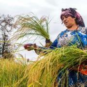 Among The Rice Paddies of Iran – Gilan's Rice Season