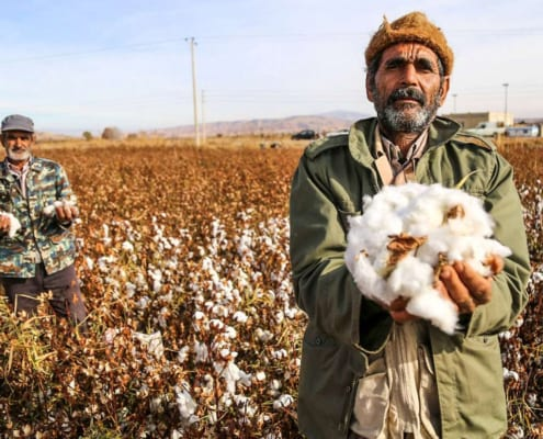 Cotton Harvesting in North Khorasan, Iran