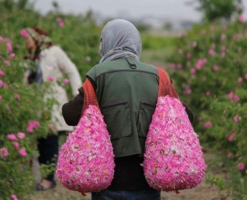 Iran Rose Harvest & Rosewater Festival