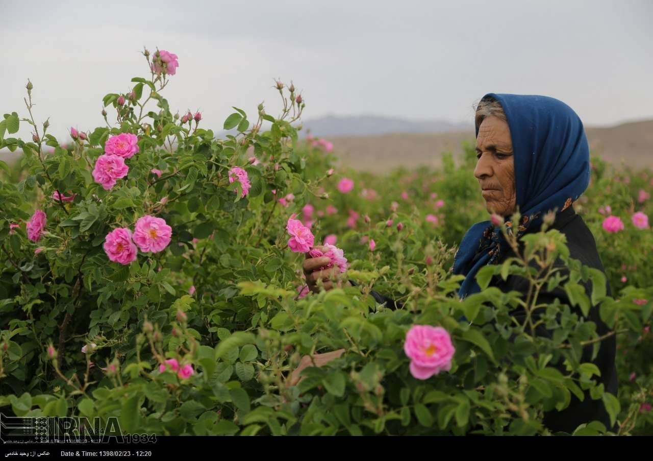 iran rose harvest  u0026 rosewater festival  u2013 surfiran