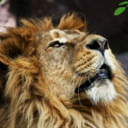 Persian Lion Returns to Iran after 80 Years - SURFIRAN