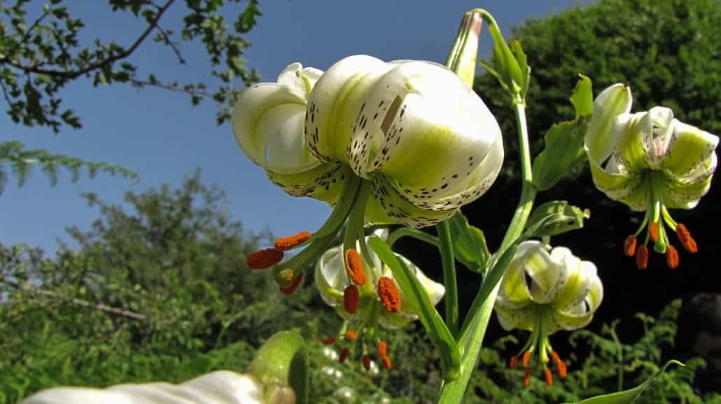 Sousan-e Chehel Cheraagh (Lilium ledebourii)