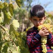 Grapes Harvest in Northeastern Iran