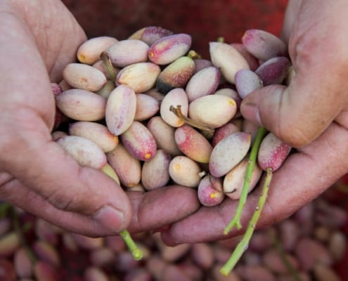 Pistachio Harvest in Central Iran