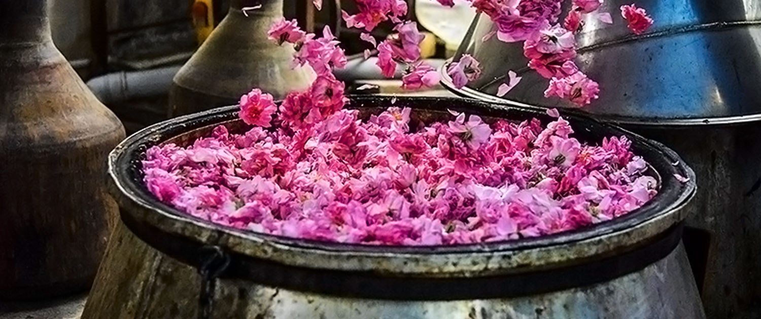 Aromatic Festival of Damask Rose