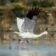 Omid: In-love Siberian crane