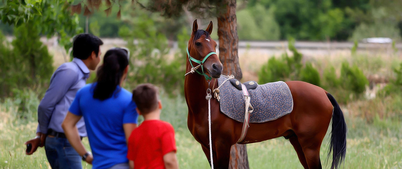Turkman Horses
