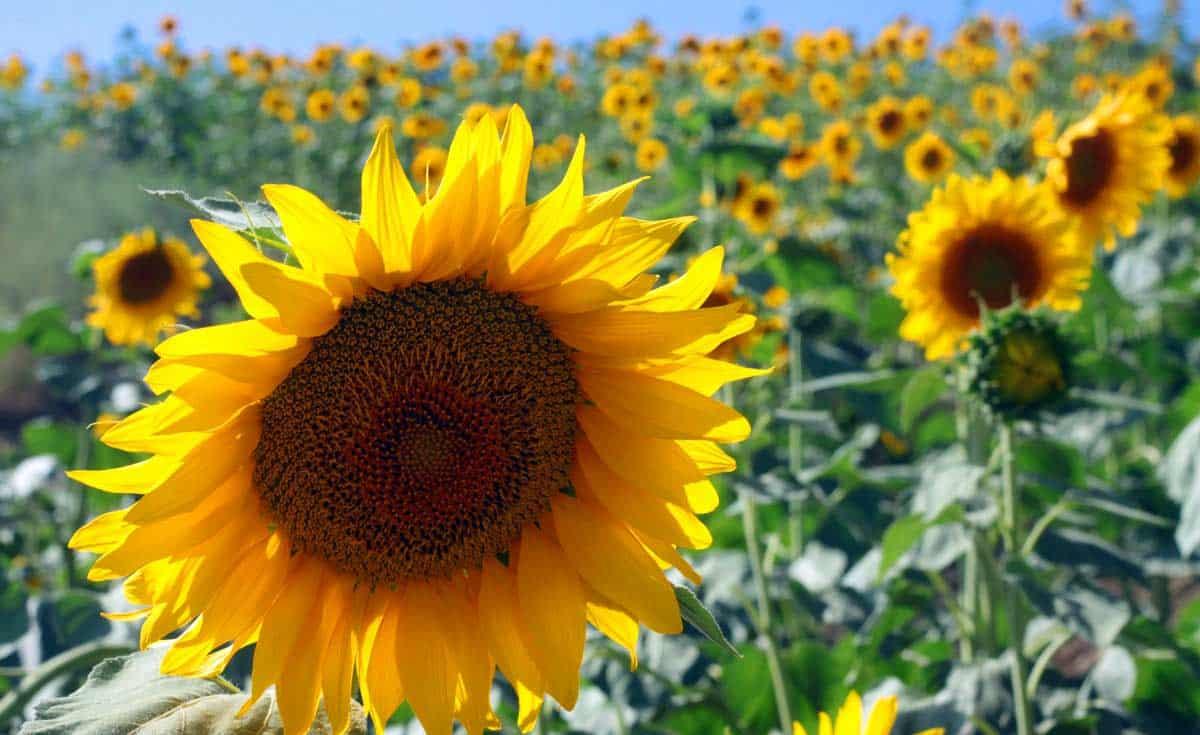 Sunflower fields in bloom in Golestan, Iran