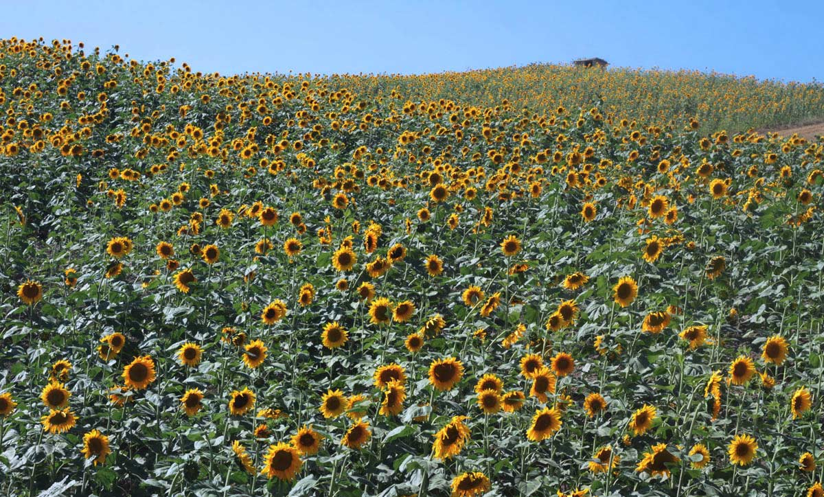 Sunflower fields in bloom in Golestan, Iran